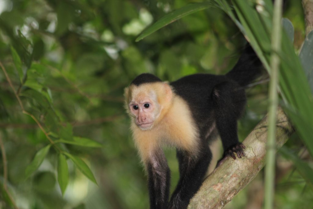 Monkey At Manuel Antonio National Park 2